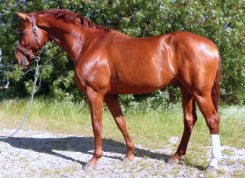 Bravo...Oldenburg Stallion